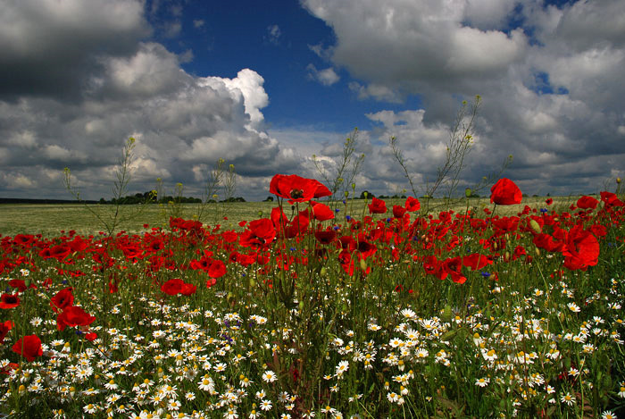 Volyn oblast poppy field view 1