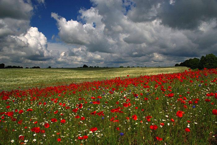 Volyn oblast poppy field view 2