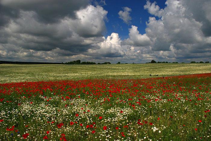 Volyn oblast poppy field view 3