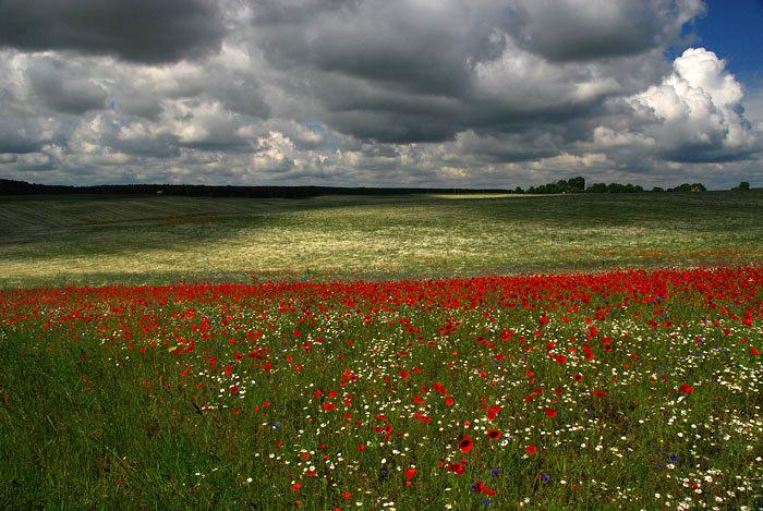 Volyn oblast poppy field view 4