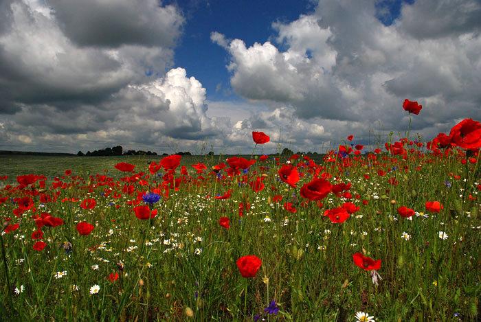Volyn oblast poppy field view 6