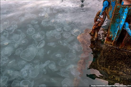 Jellyfish invasion, Balaclava, Sevastopol, Ukraine photo 3