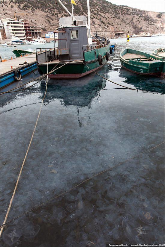 Jellyfish invasion, Balaclava, Sevastopol, Ukraine photo 4