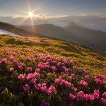 Blooming rhododendron in the Ukrainian Carpathians