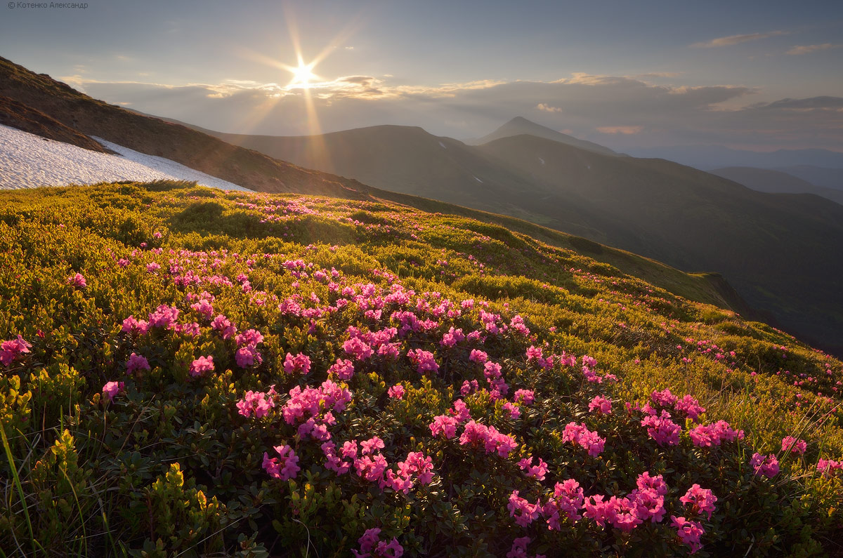 Blooming rhododendron in the Ukrainian Carpathians, photo 1