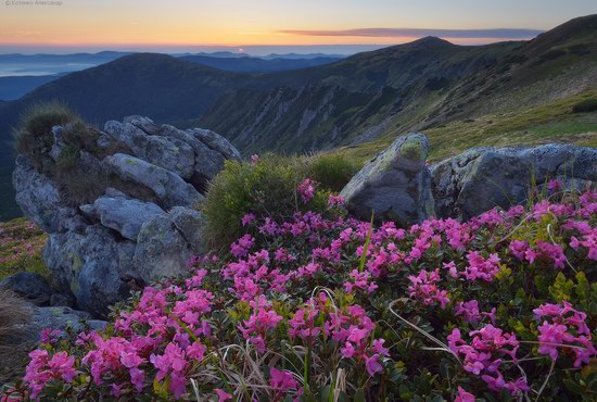 Blooming rhododendron in the Ukrainian Carpathians, photo 10