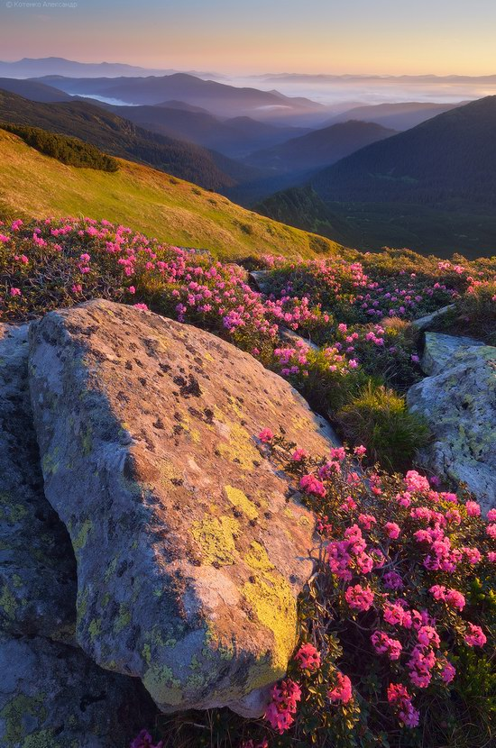 Blooming rhododendron in the Ukrainian Carpathians, photo 11