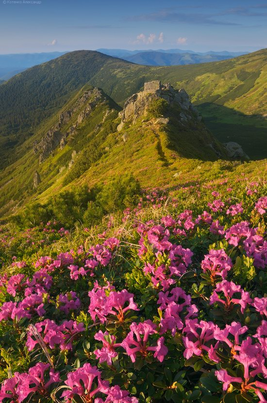 Blooming rhododendron in the Ukrainian Carpathians, photo 12