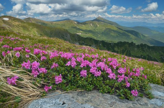 Blooming rhododendron in the Ukrainian Carpathians, photo 13