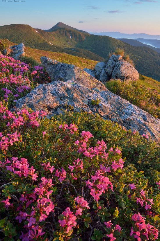 Blooming rhododendron in the Ukrainian Carpathians, photo 14