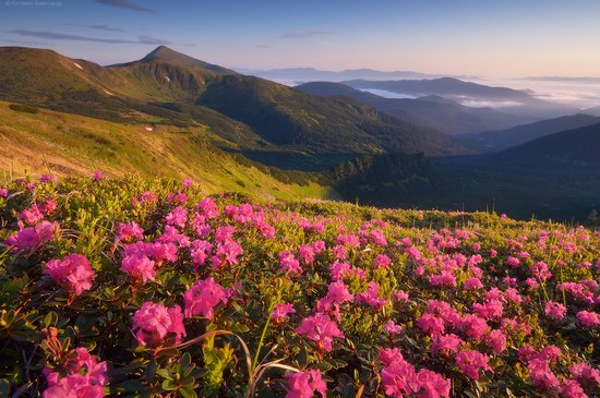 Blooming rhododendron in the Ukrainian Carpathians, photo 15