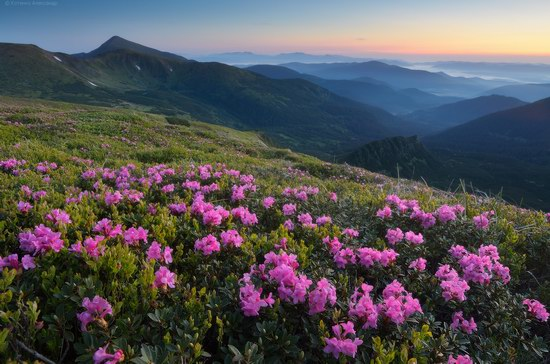 Blooming rhododendron in the Ukrainian Carpathians, photo 2