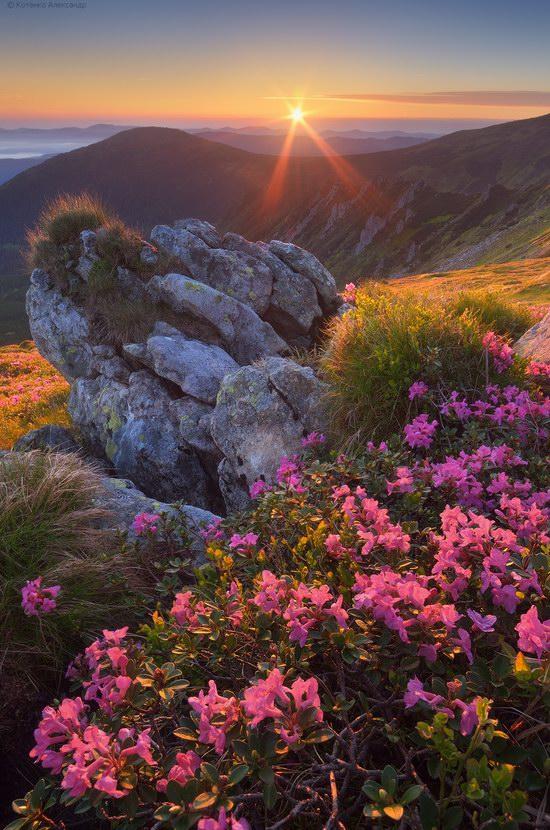 Blooming rhododendron in the Ukrainian Carpathians, photo 3