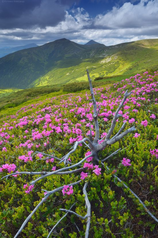 Blooming rhododendron in the Ukrainian Carpathians, photo 4
