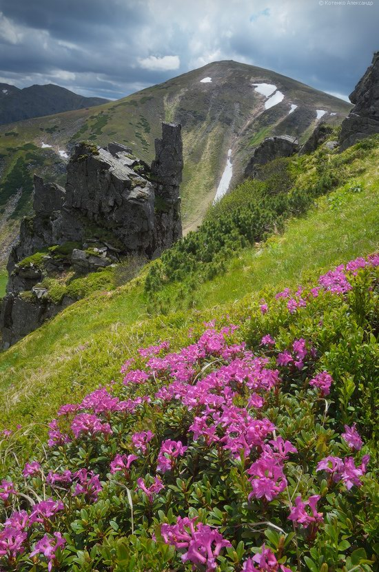 Blooming rhododendron in the Ukrainian Carpathians, photo 5