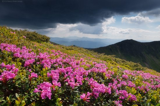 Blooming rhododendron in the Ukrainian Carpathians, photo 6