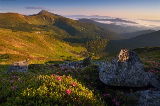 Blooming rhododendron in the Ukrainian Carpathians, photo 7