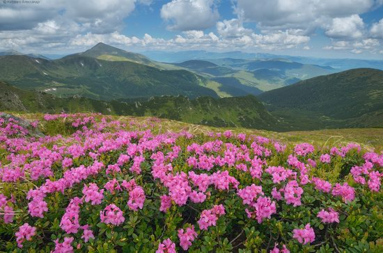 Blooming rhododendron in the Ukrainian Carpathians, photo 8
