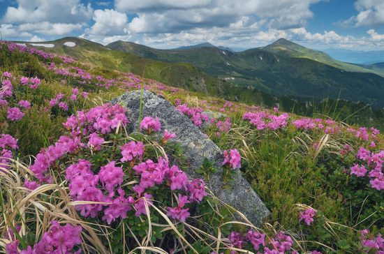 Blooming rhododendron in the Ukrainian Carpathians, photo 9