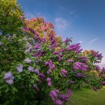 Blooming lilacs in the botanical garden in Kyiv