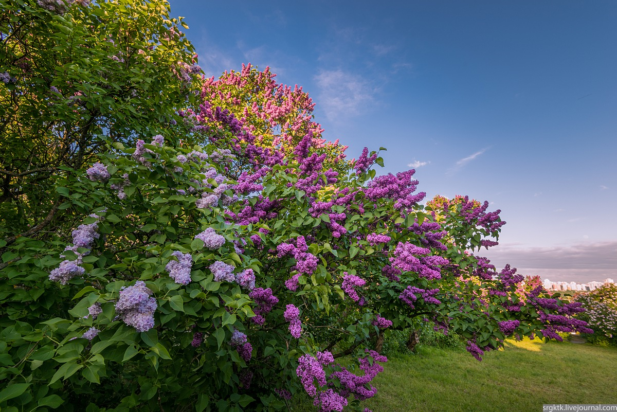 Blooming Lilacs In The Botanical Garden In Kyiv, Ukraine, Photo 1