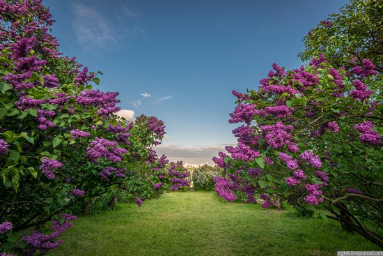 Blooming lilacs in the botanical garden in Kyiv, Ukraine, photo 10