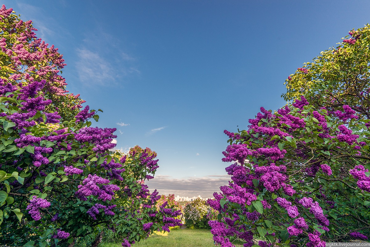 Blooming lilacs in the botanical garden in Kyiv · Ukraine travel blog