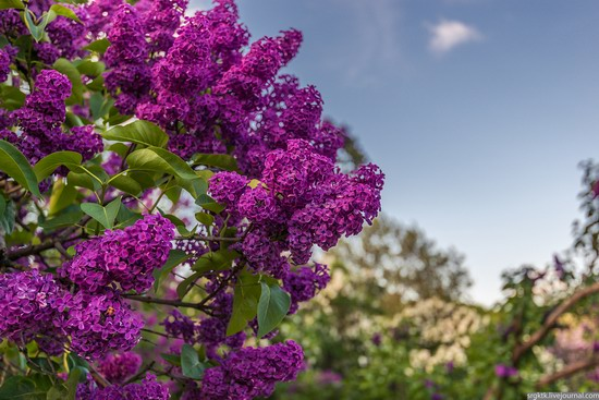 Blooming lilacs in the botanical garden in Kyiv, Ukraine, photo 3