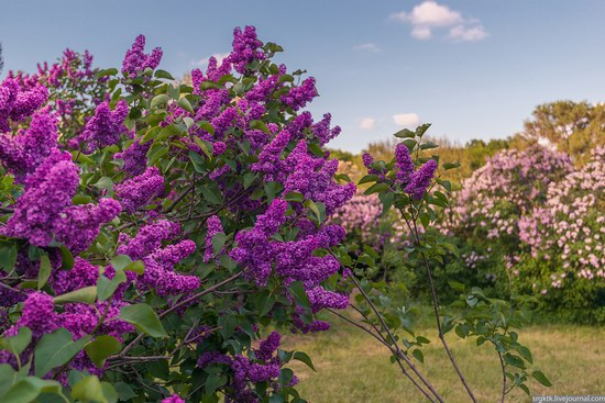 Blooming lilacs in the botanical garden in Kyiv, Ukraine, photo 4