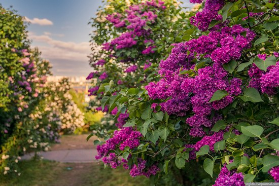 Blooming lilacs in the botanical garden in Kyiv, Ukraine, photo 5