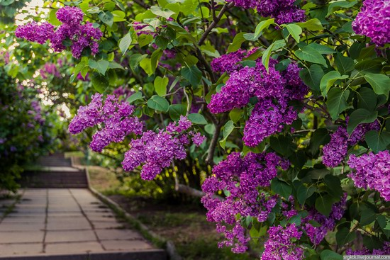 Blooming lilacs in the botanical garden in Kyiv, Ukraine, photo 6