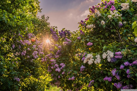 Blooming lilacs in the botanical garden in Kyiv, Ukraine, photo 7