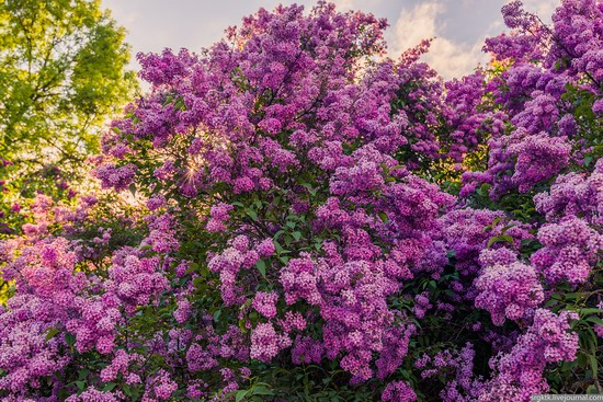 Blooming lilacs in the botanical garden in Kyiv, Ukraine, photo 8