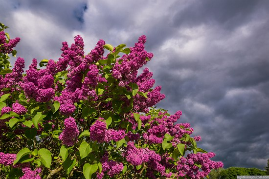 Blooming lilacs in the botanical garden in Kyiv, Ukraine, photo 9