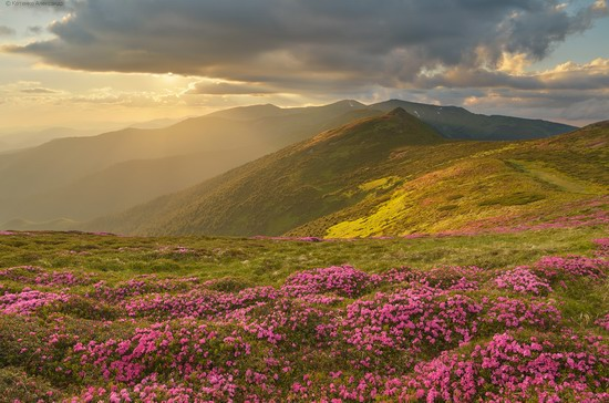 Flowering Carpathians, Chornohora, Ukraine, photo 10