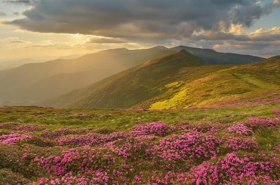 Flowering Carpathians, Chornohora, Ukraine, photo 10