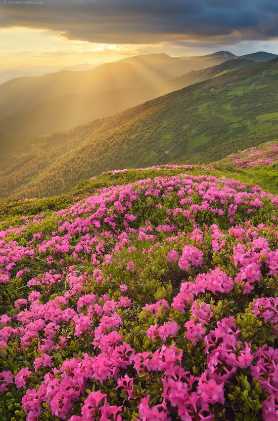 Flowering Carpathians, Chornohora, Ukraine, photo 11