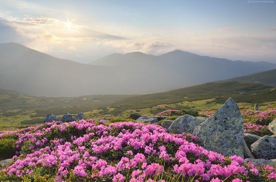 Flowering Carpathians, Chornohora, Ukraine, photo 12