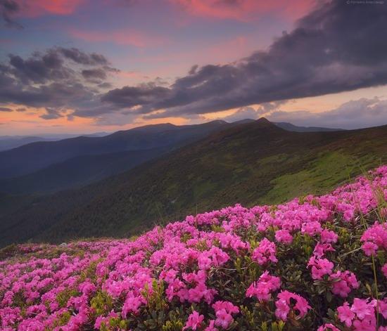 Flowering Carpathians, Chornohora, Ukraine, photo 13