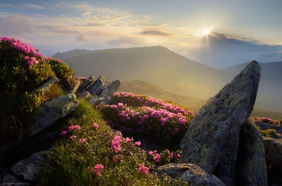 Flowering Carpathians, Chornohora, Ukraine, photo 14