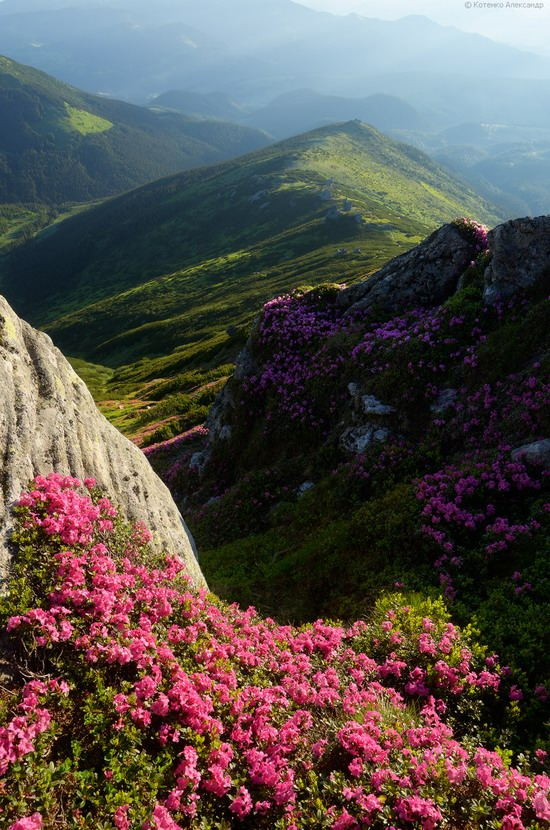 Flowering Carpathians, Chornohora, Ukraine, photo 16