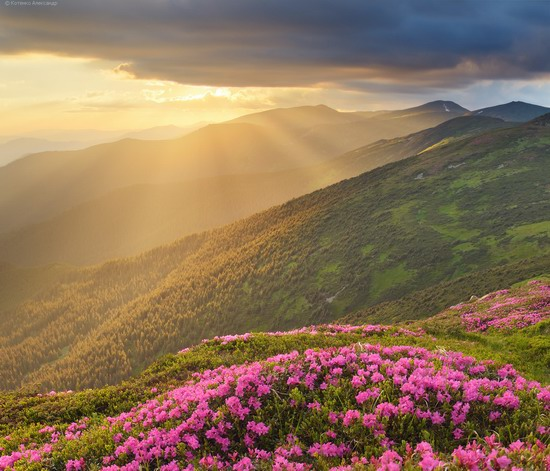 Flowering Carpathians, Chornohora, Ukraine, photo 18