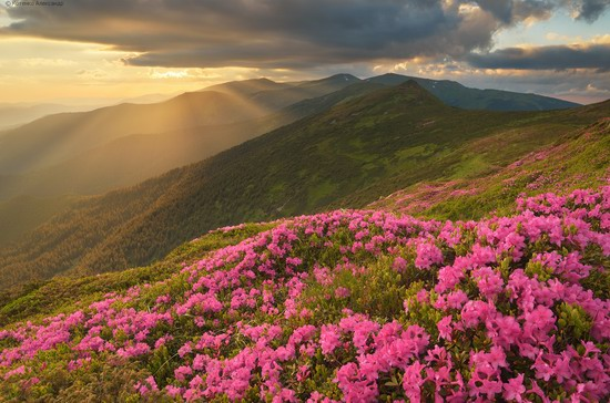 Flowering Carpathians, Chornohora, Ukraine, photo 19