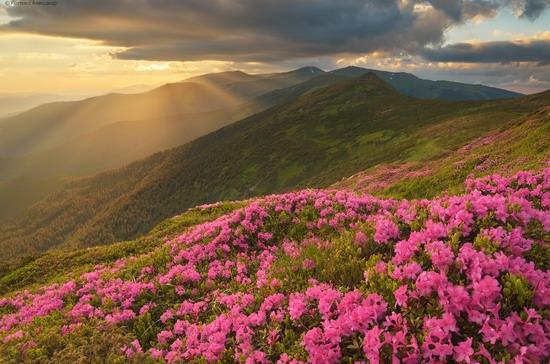 Flowering Carpathians, Chornohora, Ukraine, photo 19