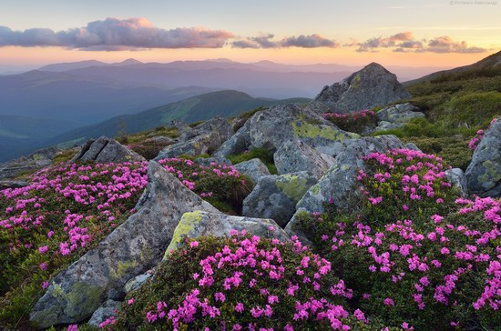 Flowering Carpathians, Chornohora, Ukraine, photo 21