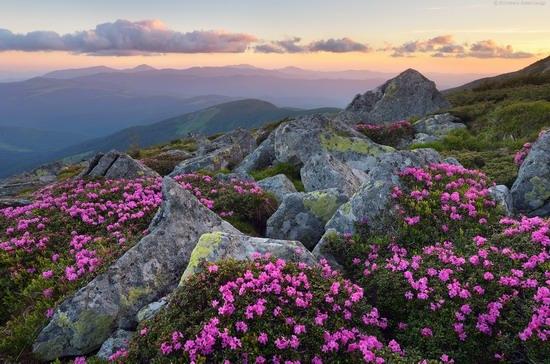 Flowering Carpathians, Chornohora, Ukraine, photo 21