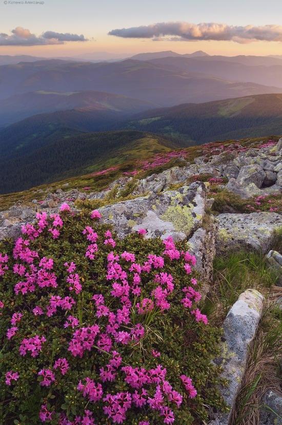 Flowering Carpathians, Chornohora, Ukraine, photo 22