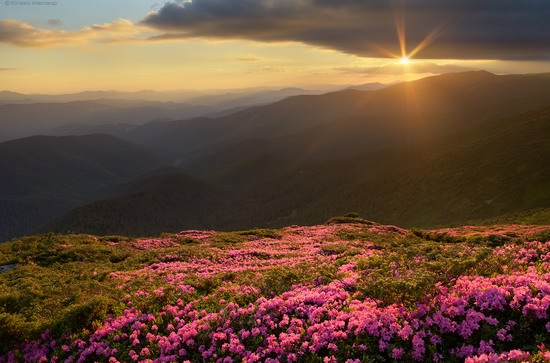 Flowering Carpathians, Chornohora, Ukraine, photo 3