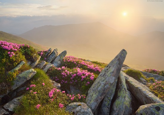 Flowering Carpathians, Chornohora, Ukraine, photo 5