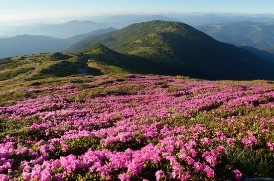 Flowering Carpathians, Chornohora, Ukraine, photo 6